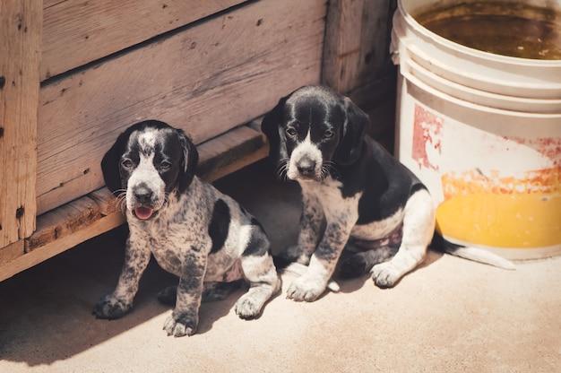 Close de dois filhotes de cachorro auvergne