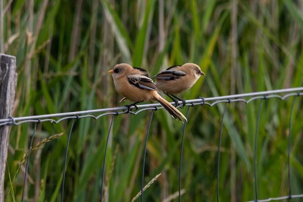Close de dois passarinhos sentados em um cabo de metal atrás da grama