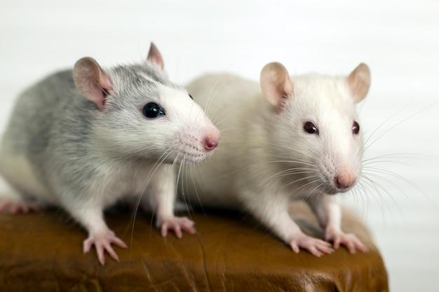 Close de dois ratos domésticos brancos engraçados com bigodes longos.