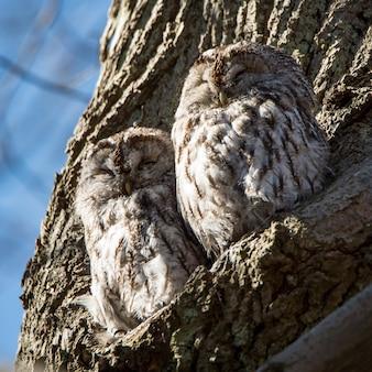Close de duas corujas-guincho empoleiradas na árvore