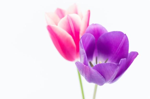 Close de duas flores coloridas em forma de tulipa, isoladas no fundo branco com espaço para seu texto