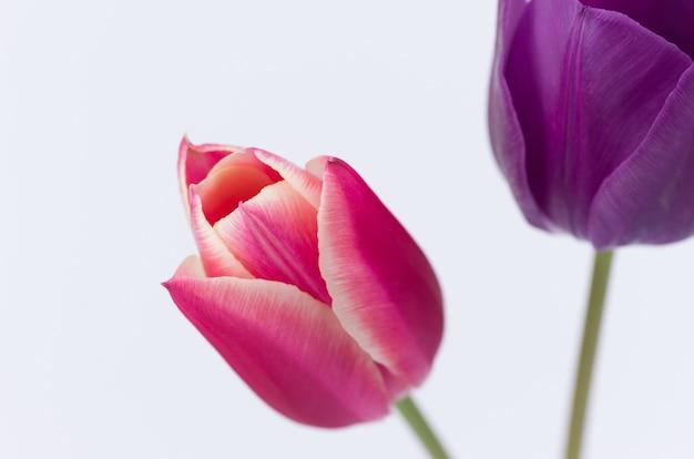 Close de duas flores coloridas em forma de tulipa, isoladas no fundo branco