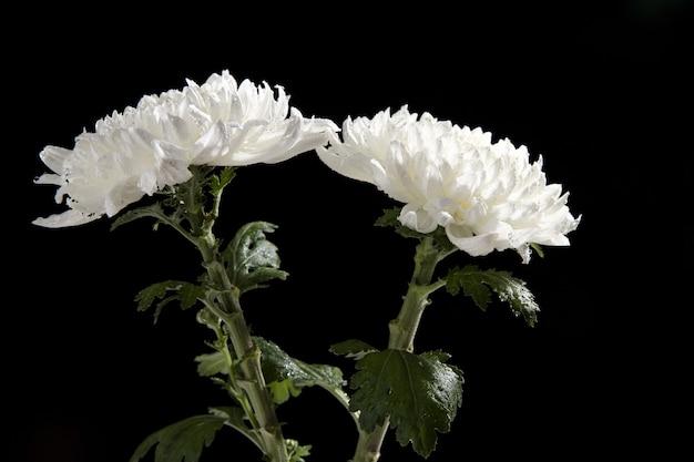 Close de duas flores de crisântemo branco isoladas