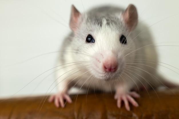Close de engraçado rato doméstico branco com longos bigodes.