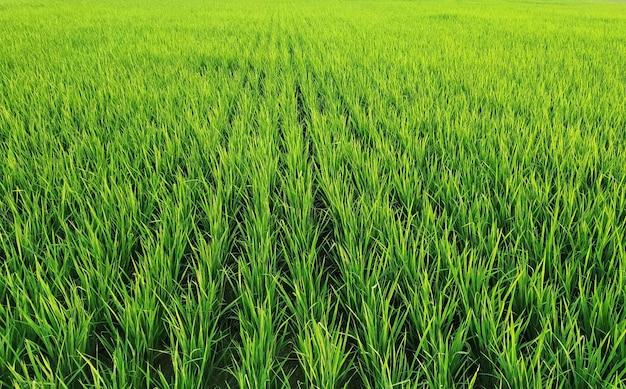 Close de fileiras de plantas de arroz em um vasto campo