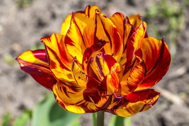 Close de flor amarela e vermelha
