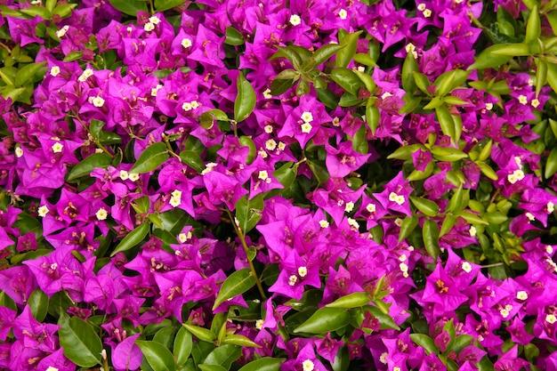 Close de flor de buganvília roxa