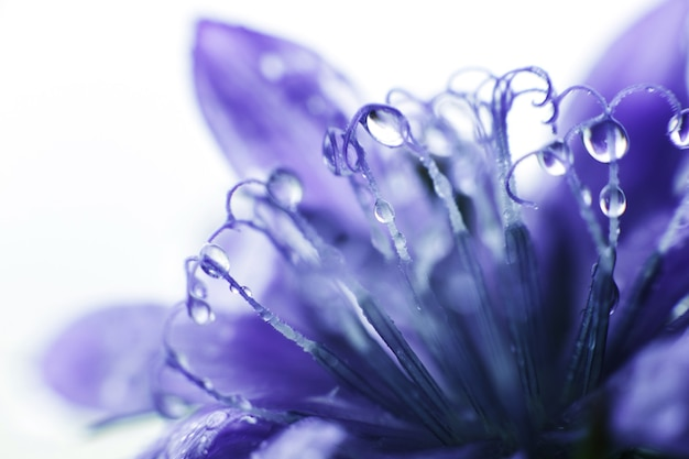 Close de flor de centáurea azul