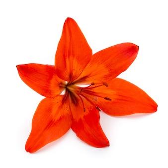 Close de flor de lírio vermelho