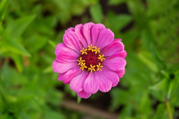 Close de flor rosa de zínia em jardim de verão