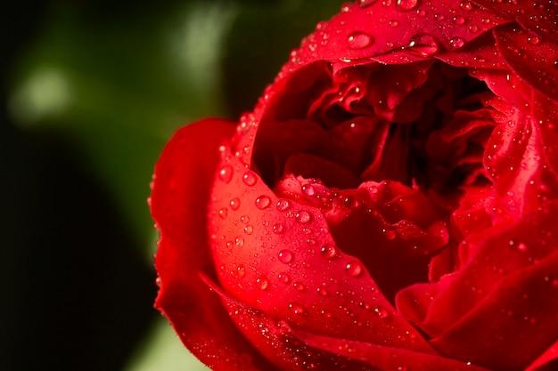Close de flor vermelha com gotas de água