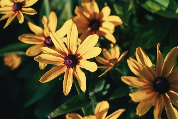 Close de flores amarelas de rudbeckia