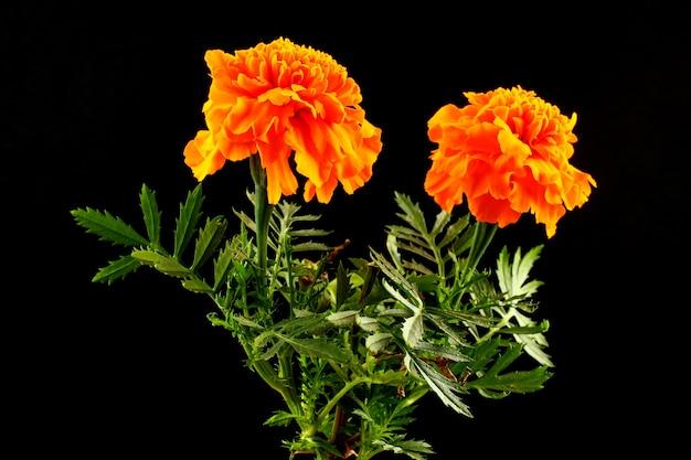 Close de flores de calêndula em uma parede preta