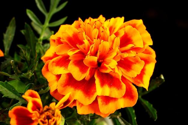 Close de flores de calêndula