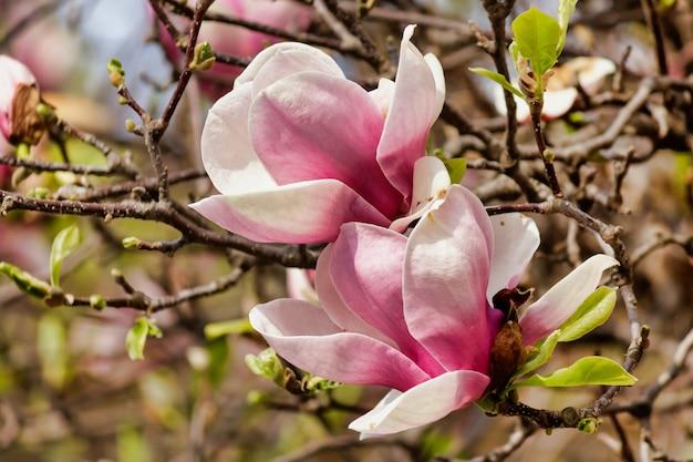 Close de flores de magnólia rosa em uma árvore com galhos de árvores ao fundo