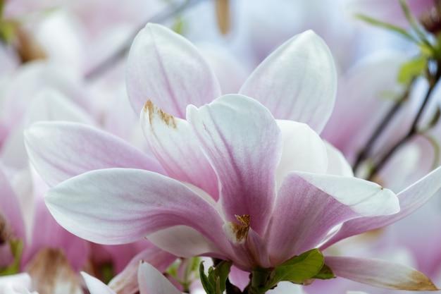Close de flores de magnólia rosa em uma árvore