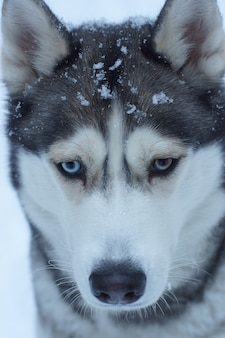 Close de focinho de raça de cachorro husky com flocos de neve, olhos diferentes.
