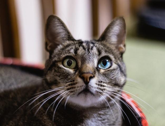 Close de foco seletivo de um gato com belos olhos heterocromáticos