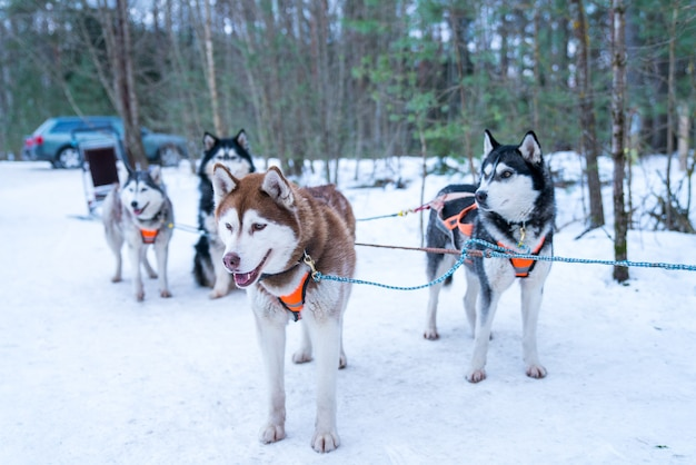 Close de foco seletivo de um grupo de cães de trenó husky na neve
