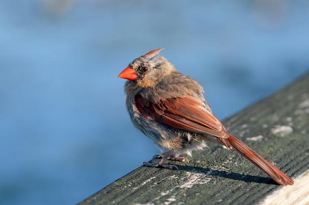 Close de foco seletivo de uma ave cardeal fêmea pousando na cerca