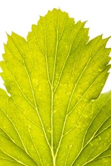 Close de folha verde