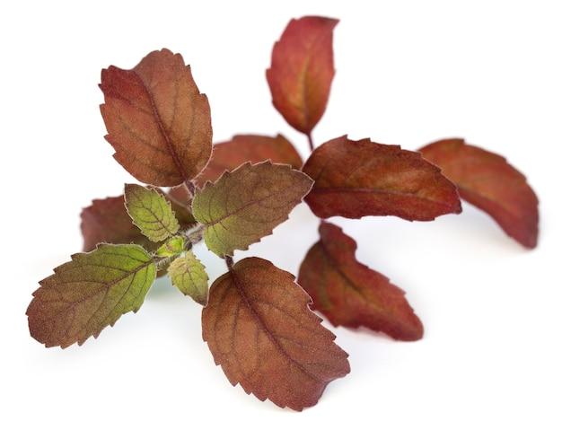 Close de folhas vermelhas de manjericão sobre fundo branco