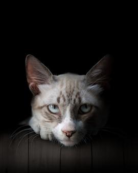 Close de gato, olhos azuis cobertos. lindo gato branco e cinza, isolado no preto