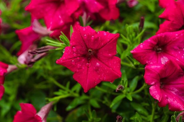 Close de lindas flores de petúnia rosa crescendo no jardim