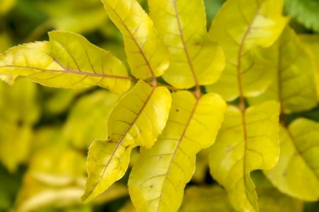 Close de lindas folhas amarelas