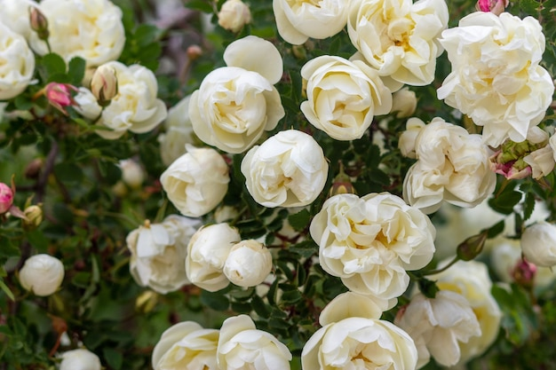 Close de lindo buquê de rosas rosa spinosissima floresceu no local