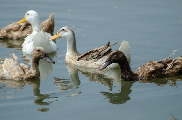 Close de lindos patos-reais na água