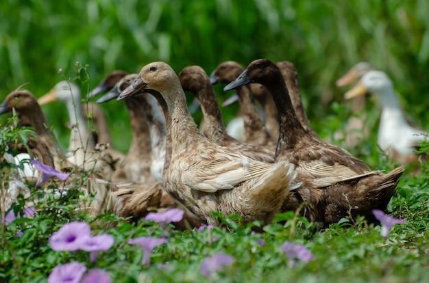 Close de lindos patos-reais