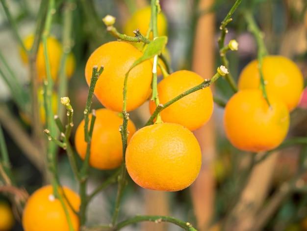 Close de muitas laranjas frescas pequenas em galhos de árvores verdes no jardim