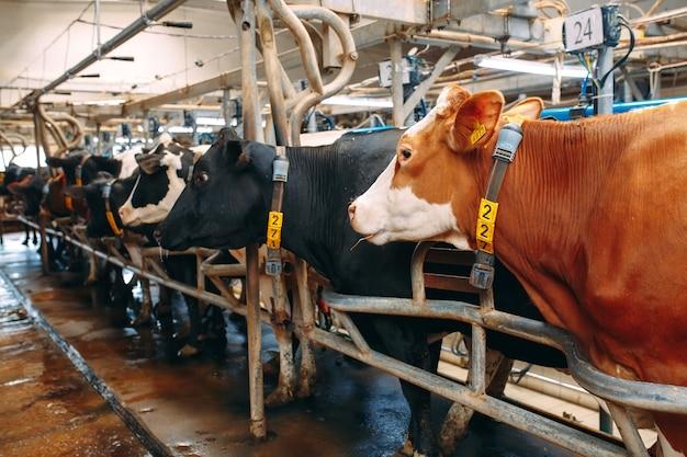 Close de muitas vacas em uma grande fazenda