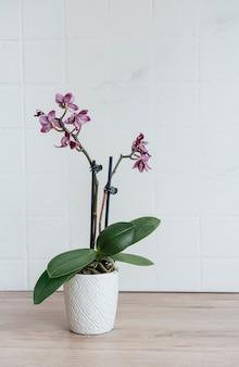 Close de orquídea phalaenopsis roxa no vaso sobre a mesa