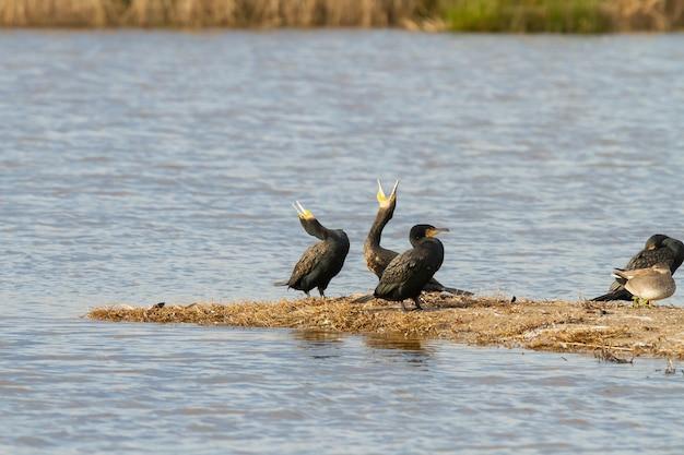 Close de pássaros corvos-marinhos ou phalacrocorax carbo perto do lago durante o dia