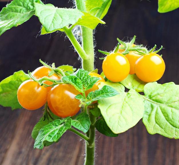 Close de pequenos tomates-cereja amarelos
