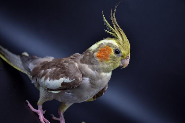 Close de periquito de papagaio em fundo preto