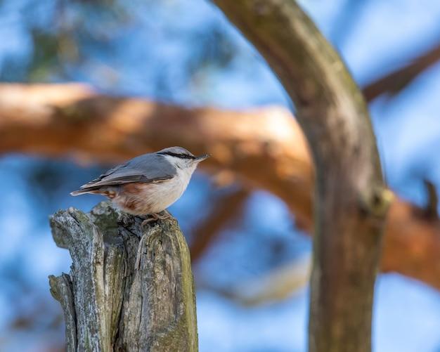 Close de pica-pau-cinzento empoleirado em uma tora de madeira