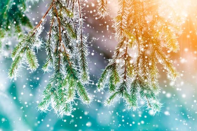 Close de pinheiro coberto de neve geada no inverno