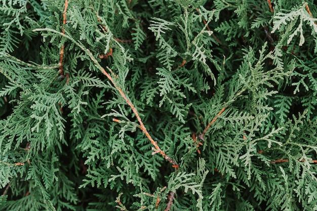 Close de planta verde, parte de um thuja