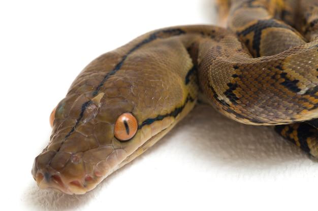 Close de python reticulada