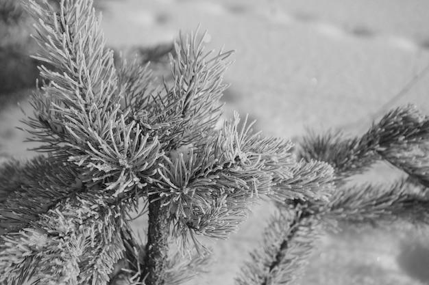 Close de ramo de pinheiro congelado