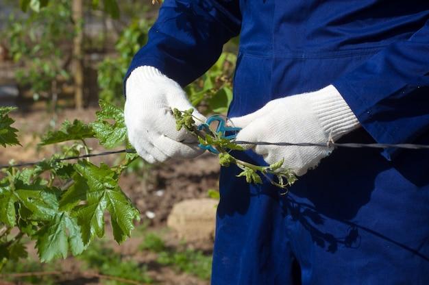 Close de ramos de uva amarrados
