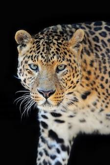 Close de retrato de leopardo