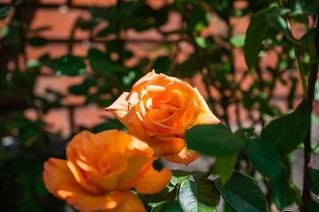 Close de rosas de jardim laranja rodeadas por vegetação sob a luz do sol com um fundo desfocado