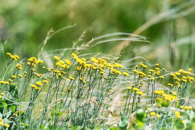 Close de tanacetum achilleifolium amarelo em meio a um prado verdejante