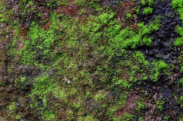 Close de textura de musgo verde na parede velha para o fundo