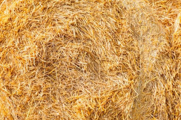Close de textura de palha amarela em um dia quente de verão