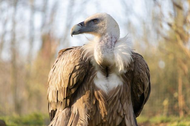 Close de um abutre de aparência feroz com uma bela exibição de sua coleira de penas